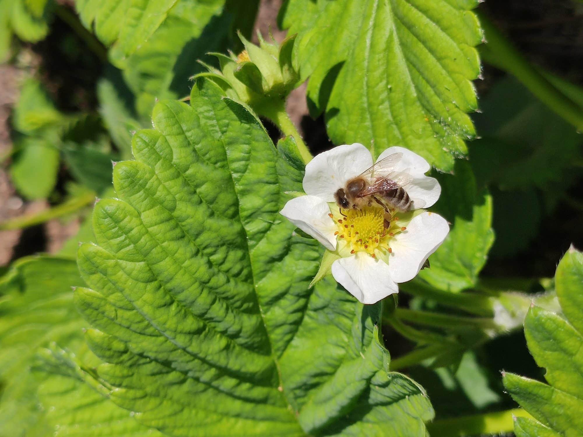 Une abeille, un pollinisateur de la famille des hyménoptères